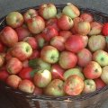 Best Places for Apple Picking with Kids in Westchester and Rockland County