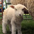 Sheep and Wool Festivals in New England