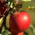 "Organic Apple Picking in NJ? Where to Find ""Low-Spray"" Apple Farms in the Garden State"