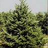 Christmas Tree Farms in Connecticut (Fairfield County)