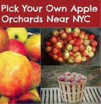 Apple Picking Near NYC: Pick-Your-Own-Apple Farms An Hour or Less From New York City