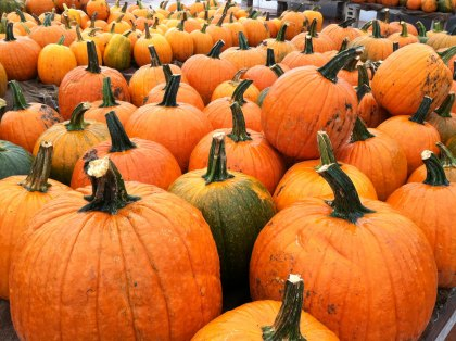 Pumpkin Patches for Kids and Families in Greater Boston - Where to Pick Your Own