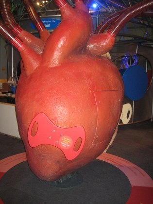 Model of a healthy heart