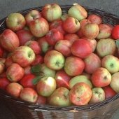 Things to do with kids: Best Places for Apple Picking with Kids in Westchester and Rockland County