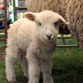 Things to do with kids: Sheep and Wool Festivals in New England