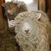 Things to do with kids: Learning about our world: Sheep Shearing Events and Felt Exhibit