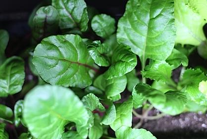 My Apartment Garden: How to Grow an Indoor Herb or Vegetable Garden ...