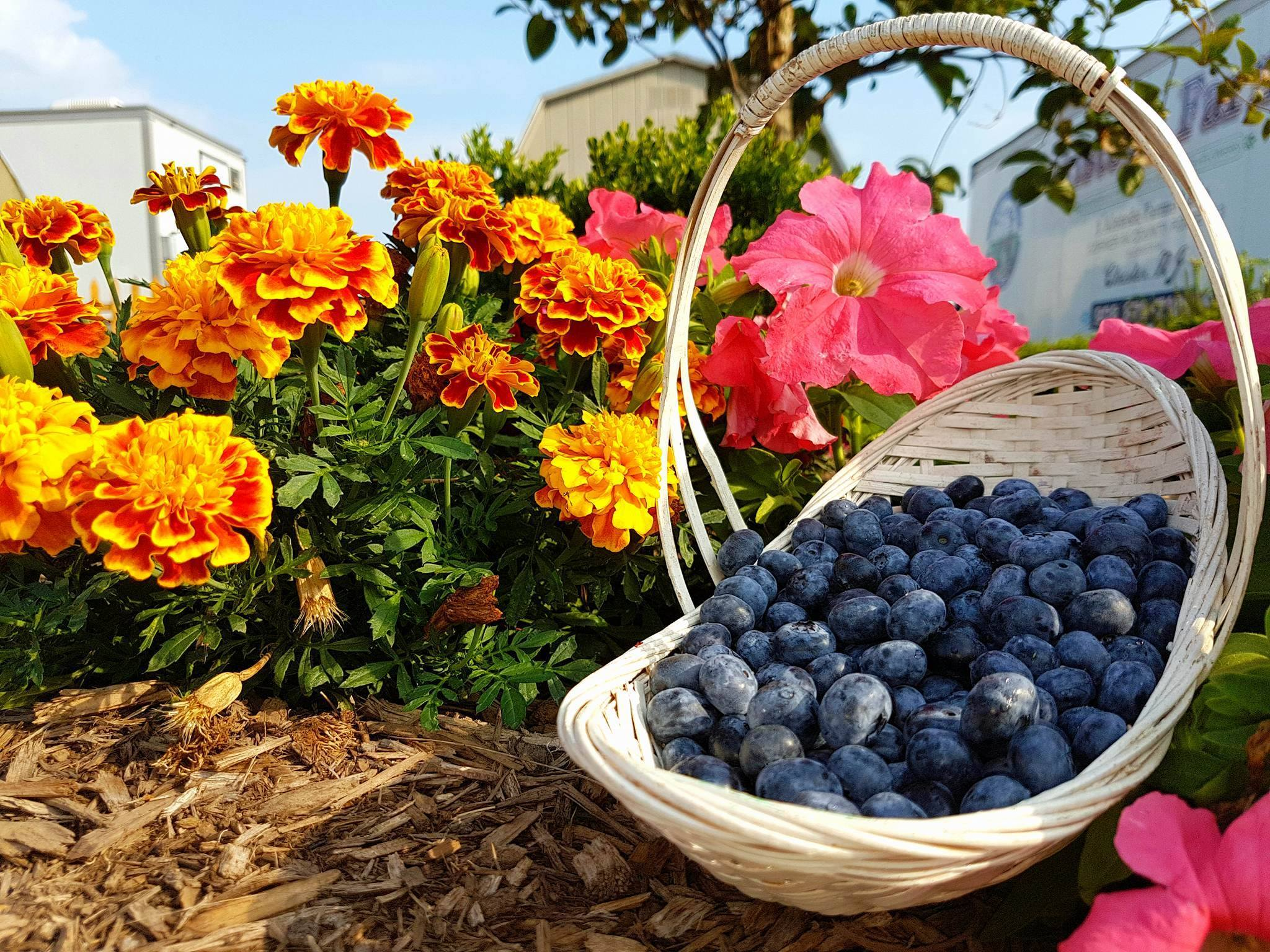 Where to Pick Your Own Blueberries, Raspberries, and ...