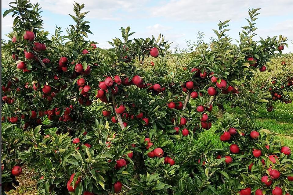 Apple Picking Season Long Island