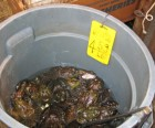 A bucketful of bullfrogs in Chinatown, destined for someone's dinner table