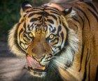 LA Zoo Sumatran Tiger by Jamie Phan