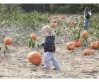 Pumpkin picking at The Wright Family Farm