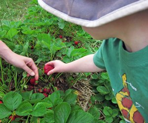 Strawberry picking at Bishop's Orchards