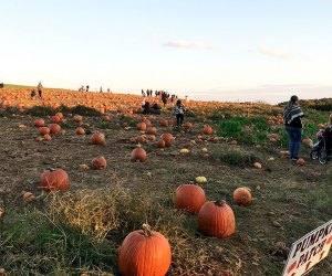 Go pumpkin picking in the huge patch at Alstede Farm
