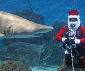 Shark dives with Santa at the Maritime Aquarium. Image courtesy of the Maritime Aquarium