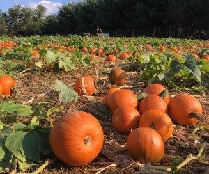 Pumpkin patch at Clark Elioak Farm in Maryland