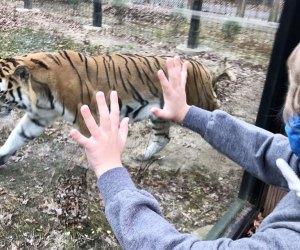 a boy looking at a tiger