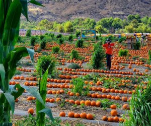 The Best Pumpkin Patches near Los Angeles: Tanaka Farms