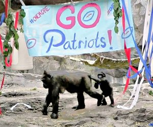 The Gorillas are having a Game Day celebration...again! Photo courtesy of Franklin Park Zoo