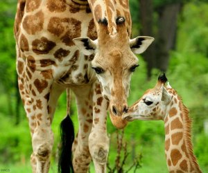 Giraffes at the Bronx Zoo. Photo by Julie Larsen Maher for WCS