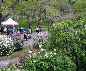 Wander through the Arnold Arboretum to see and smell the beautiful lilacs. Photo courtesy of the arboretum