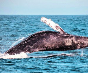 See whales up close and personal from sea, shore, or virtual festival.