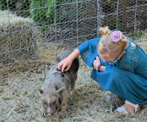 Piggies at the petting zoo at 123 Farm.