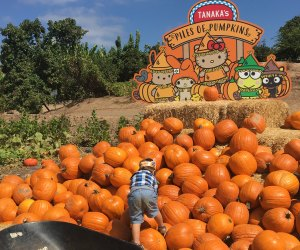 To the top of the pumpkin pile at Tanaka Farms! Photo by Arianna Menon