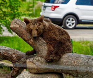 A bear lounges on a log at Six Flags Great Adventure, a perfect day trip destination