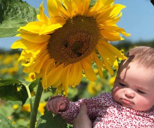 Stop and smell the sunflowers at Alstede Farms' Sunflower Festival. Photo courtesy of the  farm