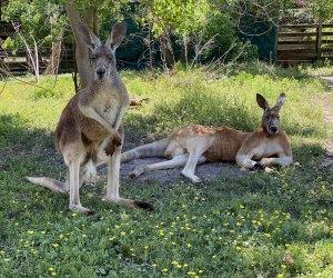 TGR Exotics Wildlife Park kangaroos