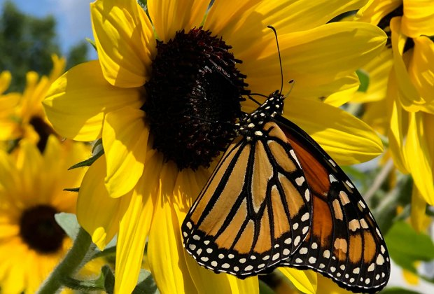 butterfly on a sunflower Gorgeous Sunflower Fields for Pick-Your-Own Flowers near Chicago