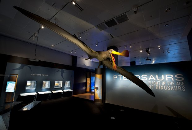 One of the most massive pterosaurs, a Tropeognathus mesembrinus, is quite<br /> the sight; photo by ©AMNH/R. Mickens