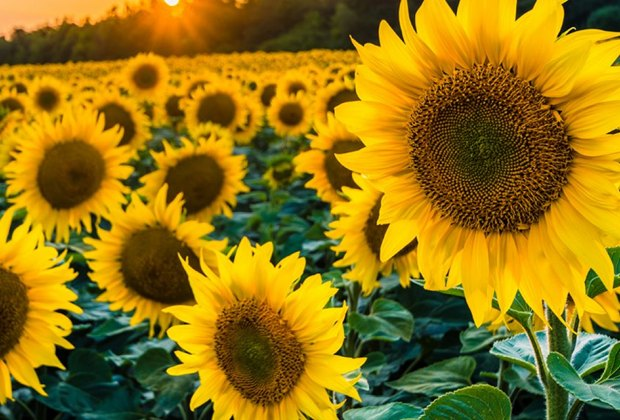 closeup sunflowers Gorgeous Sunflower Fields for Pick-Your-Own Flowers near Chicago