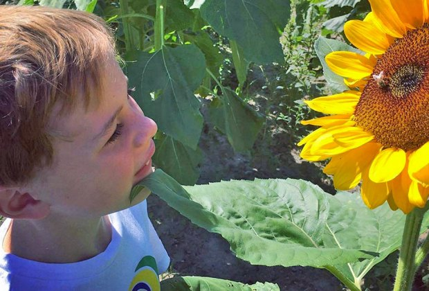 closeup boy looking at a sunflower Gorgeous Sunflower Fields for Pick-Your-Own Flowers near Chicago
