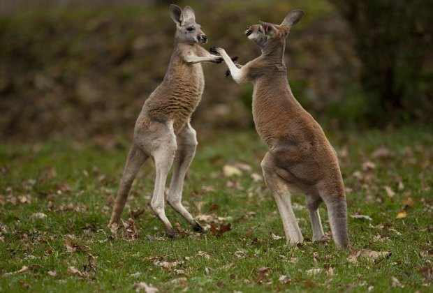 This kangaroo has a mean left hook.