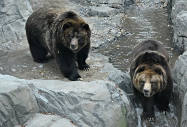 Meet the Central Park Zoo's new residents, grizzly bears Betty and Veronica