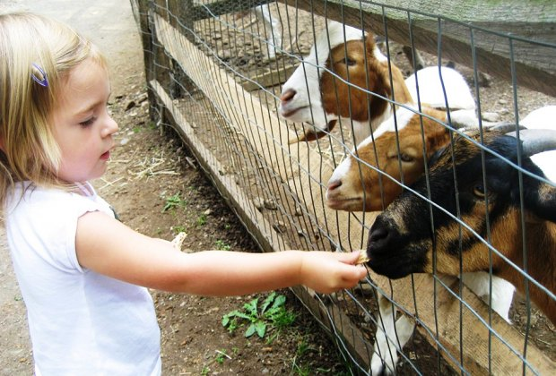 Make friends with the goats at Abma's Farm. Photo courtesy of the farm