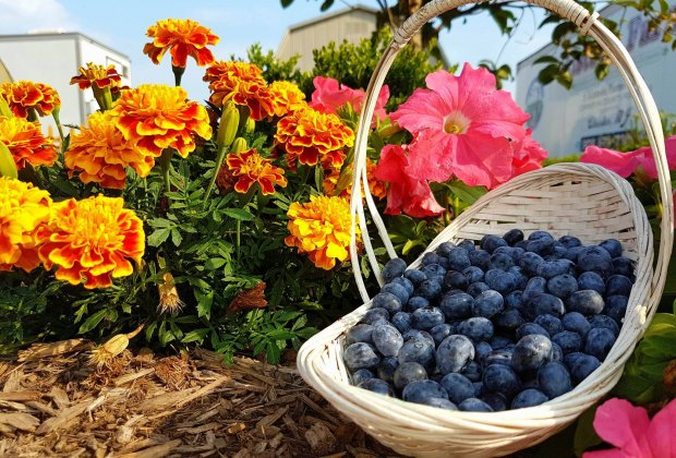 Alstede Farms has all the berries you can pick. Photo courtesy of the farm