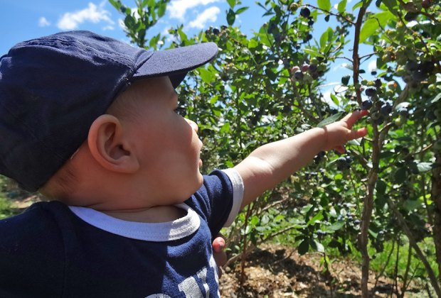 Kids get in on blueberry-picking action at Alstede Farms. Photo courtesy of the farm