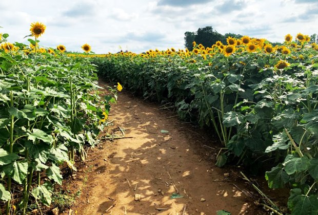 Rows of sunflowers at Alstede Farms