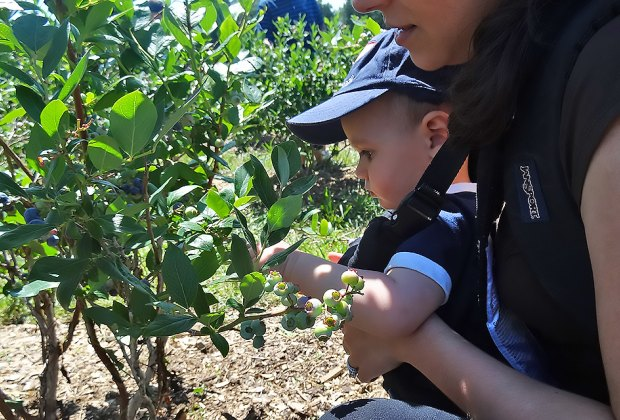 Even the littlest visitors can pick their own blueberries. Photo by Kaylynn Ebner