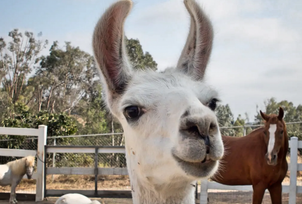 California Vacation Rentals for Families: Stay on an alpaca farm
