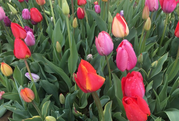 Close up of tulips at Holland Ridge Farms