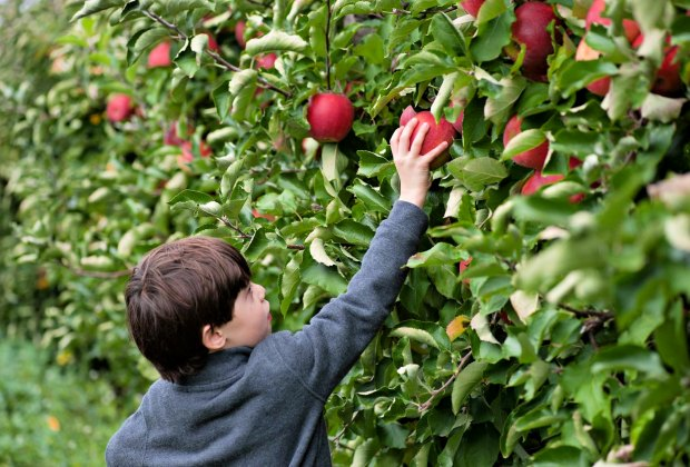 There are 11 apple varieties to choose from over the course of picking season at Lookout Farm.