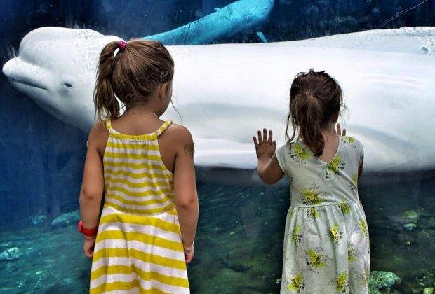 Mystic Aquarium beluga whale