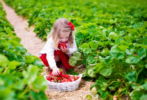 Strawberry season begins in June. Pick your own across the metropolitan area.  Photo via Bigstock