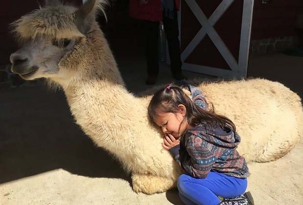 Snuggle up with an alpaca at Bluebird Farm in Peapack, NJ.