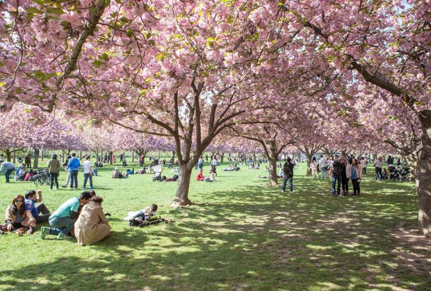 Take part in the cherry-blossom viewing, known as hanami, at the Brooklyn Botanic Garden. Photo by Tagger Yancey fro NYCGo