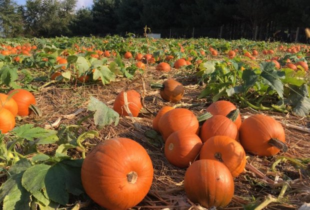 10 Best Pumpkin Patches Near Washington Dc For Kids Mommypoppins Things To Do In Washington Dc With Kids
